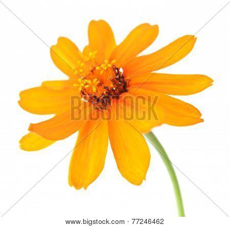 Orange Zahara Zinnia