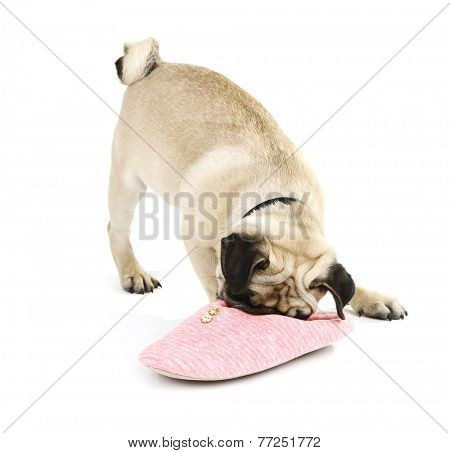 Funny, cute and playful pug dog with slipper isolated on white