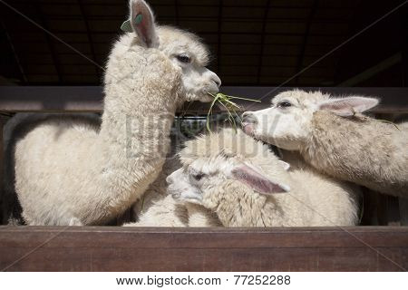 Llama Alpacas Eating Ruzi Grass In Mouth Rural Ranch Farm