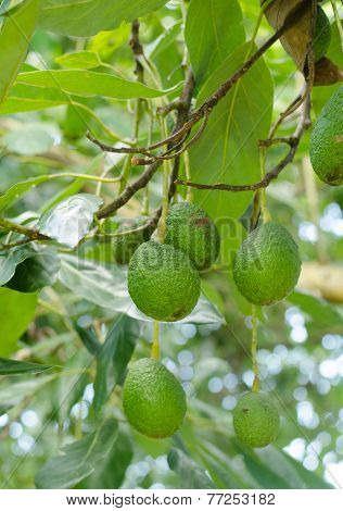 Avocados  Growing On A Tree