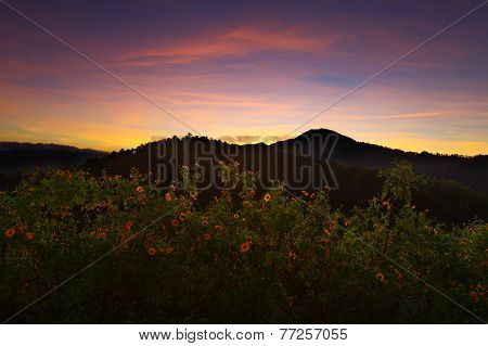 Landscape sunrise,Mexican sunflower weed (Tithonia diversifolia)