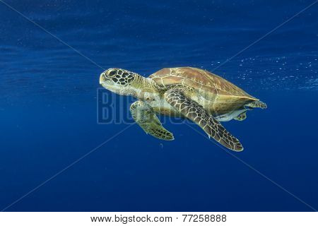 Green Sea Turtle underwater in sea beside tropical island paradise