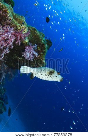 Masked Pufferfish and coral reef