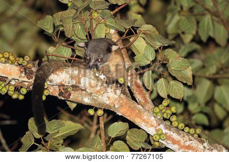 Three-striped Palm Civet Eating Fig
