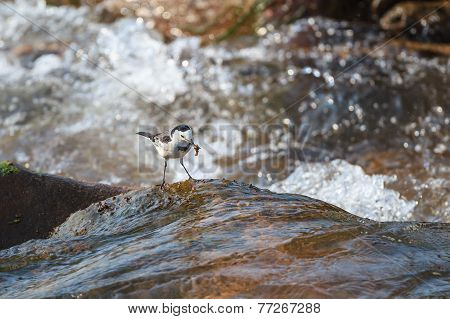 White Wagtail Catching Its Prey