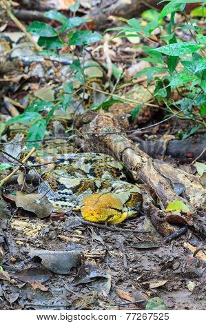 Reticulated Python Prepare Attacking Its Prey