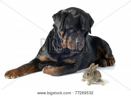 European Rabbit And Rottweiler