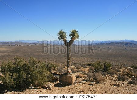 Lone Joshua Tree