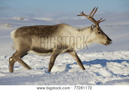 Reindeer in natural environment, Tromso region, Northern Norway