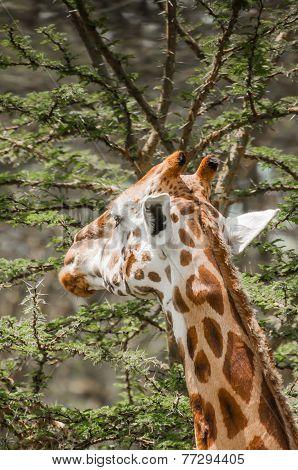 Giraffe Eating from an Acacia