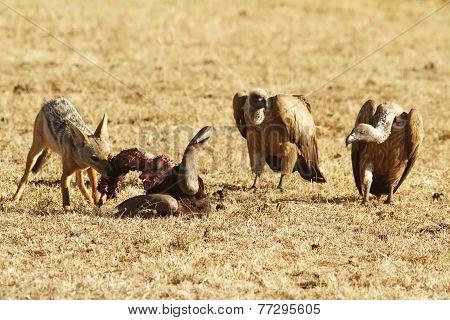 Masai Mara Jackal