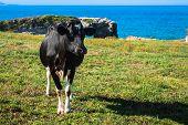 foto of sea cow  - Spanish milk cow in the seaside farmAsturiasSpain - JPG