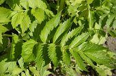 image of valium  - Fresh leaf of valerian plants - JPG