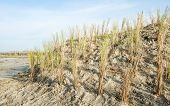 picture of dune grass  - Recently planted beach grass on a small dune of the Dutch North seacoast - JPG