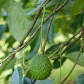 picture of avocado tree  - Avocados growing on a tree - JPG