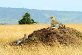 ������, ������: A cheetah Acinonyx jubatus and cheetah cub on the Masai Mara National Reserve safari in southweste