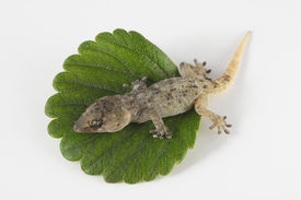 pic of hemidactylus  - One Small Gecko Lizard and Green Leaf on a White Background - JPG