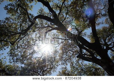 Oak Tree Brunches With Sunshine And Lens Flare