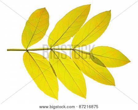 Autumn  Leaf Ash On White Background