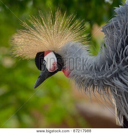 The Grey Crowned Crane (Balearica regulorum)