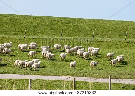 Flock Of Sheep Running Along A Dutch Dike