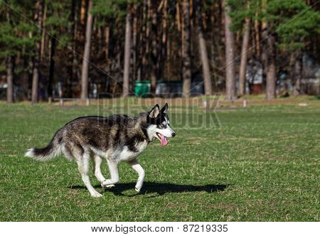 Siberian Husky is walking at sunny day.