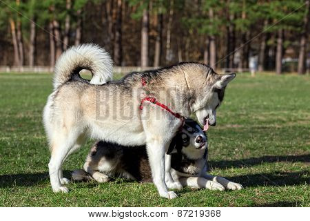 Siberian Husky demonstrates his tongue for another dog.