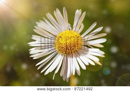 Single Daisy Flower On Green Bokeh Background With Sunshine.