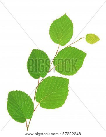 Linden Green Leaves Isolated On White Background