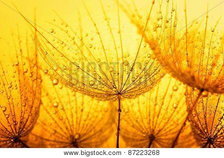 dandelion flower with water drops