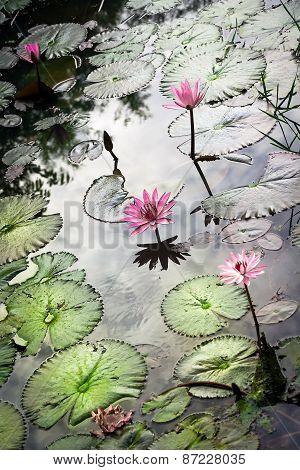 Reflection in pond with water lily Nymphaea