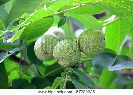 Three Walnuts On A Branch