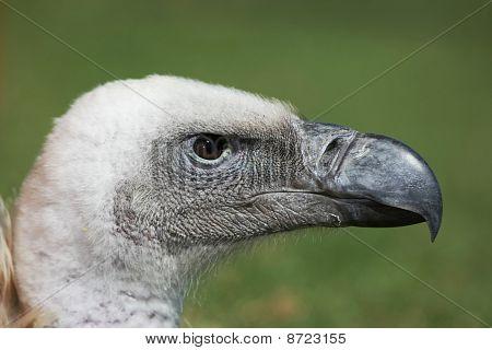 Griffon Vulture Profile