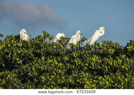 Great Egrets Nesting on Mangrove Tree