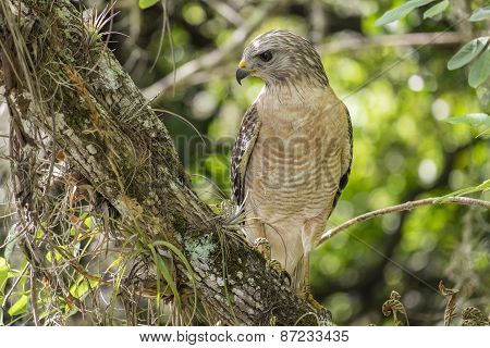 Red-shouldered Hawk Sitting on a Tree