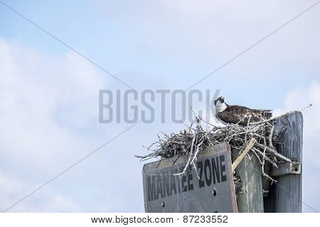Adult Osprey in the Nest