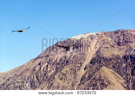 Colca Canyon And Condors