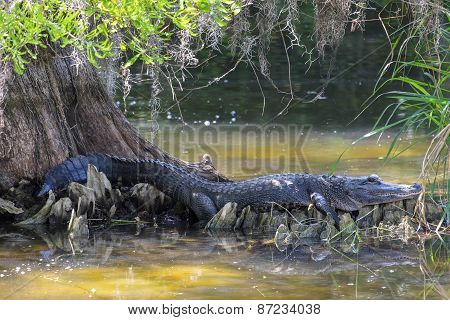American Alligator Resting Under a Big Cypress Tree