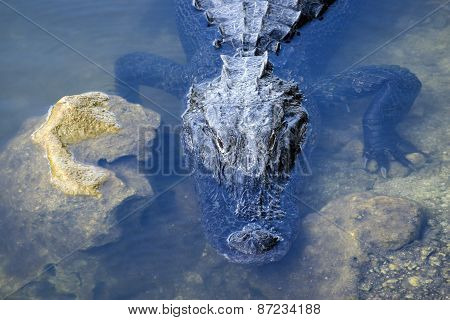 American Alligator Partially Submerged and Sunbathing