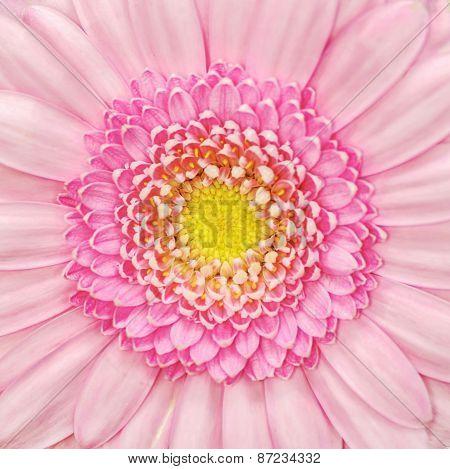 Pink Gerbera Flower Macro