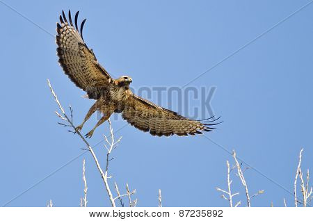 Red-tailed Hawk Taking Off From The Tree Tops With Outstretched Wings