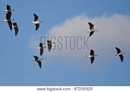 Flock Of Greater White-fronted Geese Flying In A Cloudy Sky