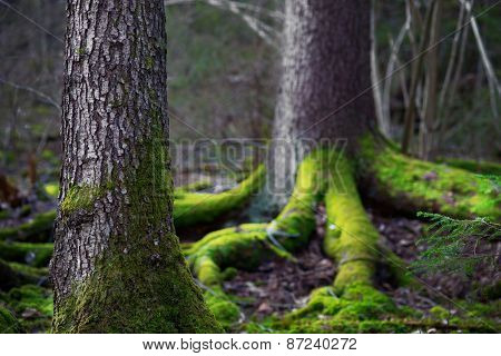 Conifer Tree  In Wilderness Area