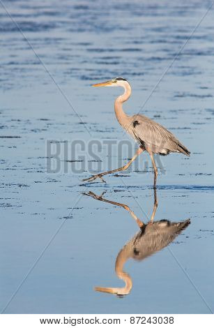 Hunting Heron Reflection