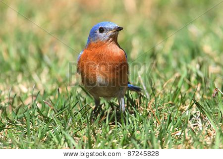Eastern Bluebird On A Lawn