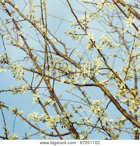 Blossoming tree brunch with blue sky