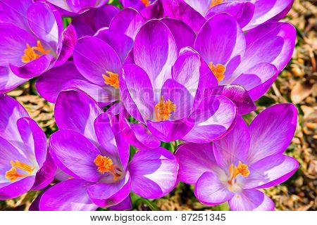Macro Of First Spring Flowers In Garden Crocus Abstract Painting Effect