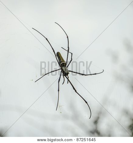 Giant Wood Spider Or Banana Spider On Its Web