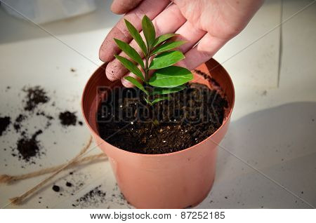 Female Hand Holds A Young Plant That Has Just Transplanted Into A Pot. Horizontal