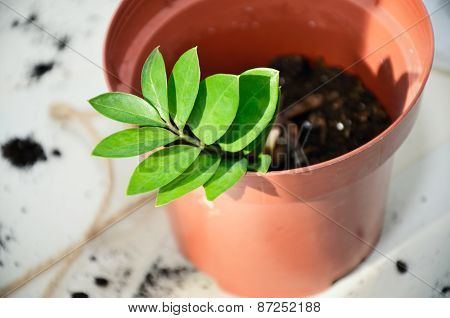 Young Plant That Has Just Transplanted Into A Pot. Horizontal